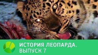История леопарда  Выпуск 7 | Живая Планета