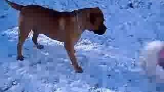 Hobbes the Bullmastiff vs Lulu