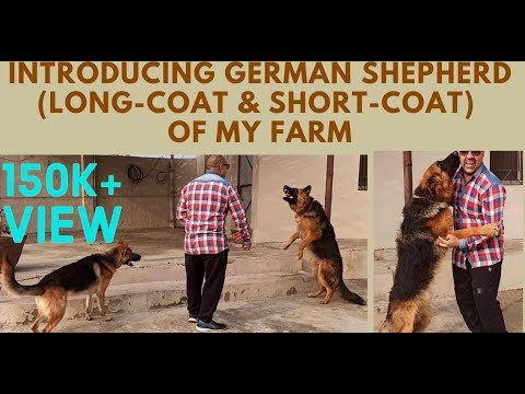 introducing-german-shepard-|-gsd-|-long-|-short-coat-|-bholashola-|-harwinder-singh-grewal-dog-farm.