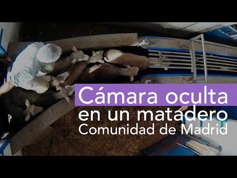 Palizas y degollamientos en vida: así tratan a los animales en este matadero de Madrid