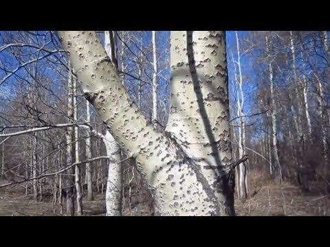 Осина.  Полезные свойства коры осины. | заболевания | средства | свойства | растения | полезные | народные | травник | лечение | польза | дерево