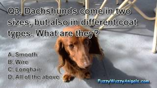 Dachshund Animal Quiz
