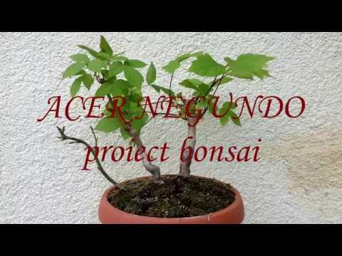 Acer Negundo Proiect Bonsai Youtube