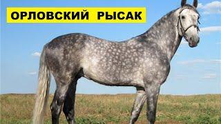 Лошадь Орловский рысак и её особенности   Коневодство   Порода лошадей Орловский рысак