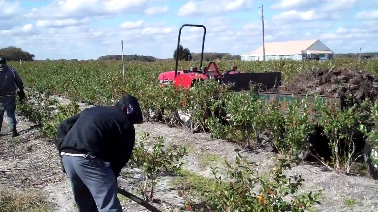 Garden Design With How To Plant Blueberry Bushes With DiMeo Blueberry Farms  How To With Front