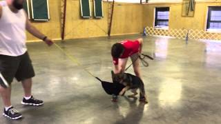 "Red Sable German Shepherd ""kaylin"" Early Protection Training Dog For Sale"