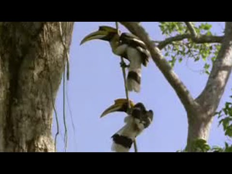 BBC: Jungle - The Private Life of Hornbills