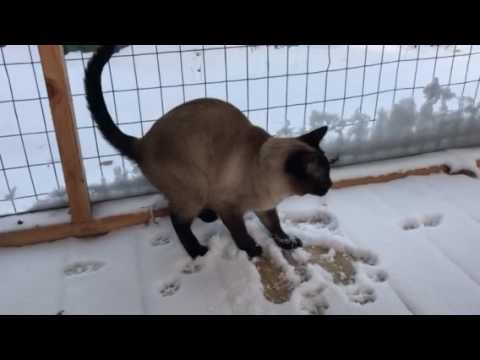 Siamese Cats check out the snow