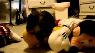 Mini Schnauzer Chewing A Flip Flop! Part 2!