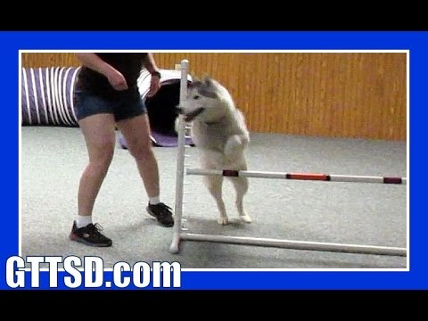 HUSKY MEMPHIS DOES AGILITY   Wordless Wednesday #Dogs