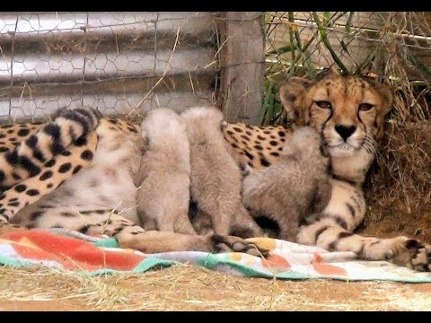 Growing UP Cheetahs – Mother Nurses Baby Cubs At Endangered Big Cat Breeding Center (Part 1)