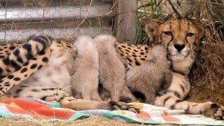 Growing UP Cheetahs - Mother Nurses Baby Cubs At Endangered Big Cat Breeding Center (Part 1)