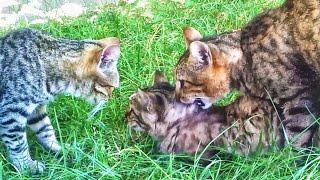 Rural Cats Mating