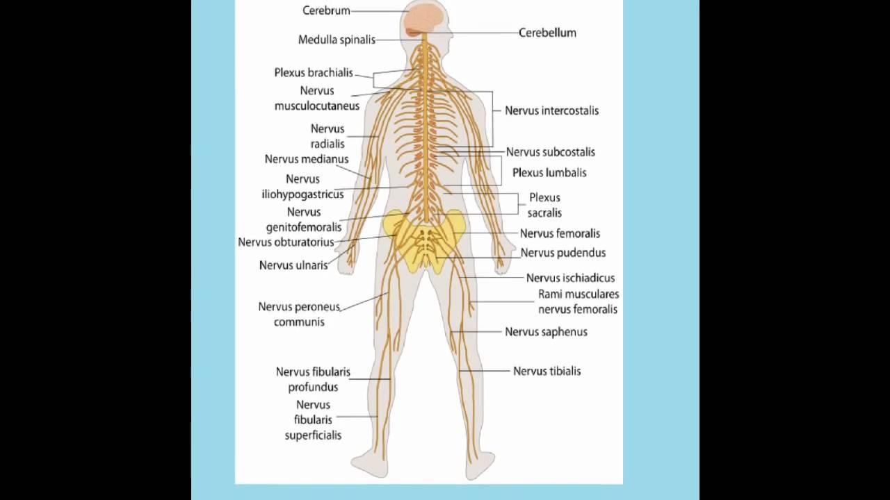 Aparatos y sistemas del cuerpo humano.wmv - YouTube