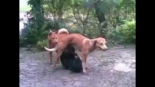 Download Video anjing kawin.3gp MP3 3GP MP4