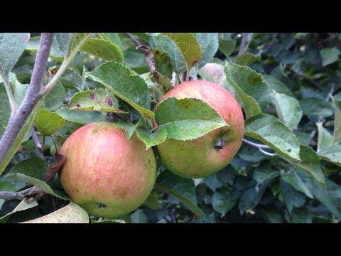 Organic Apple Festival 2013