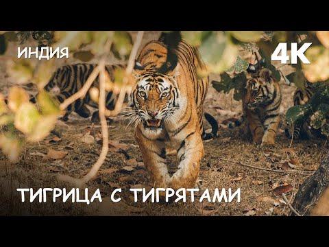 Мир Приключений - Атака тигра. Тигрица с тигрятами в джунглях. 4К. Bengal Tiger. Bandhavgarh. India