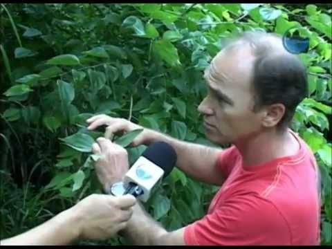 PESQUISA COM A PLANTA PATA DE VACA-UNIVALI - YouTube