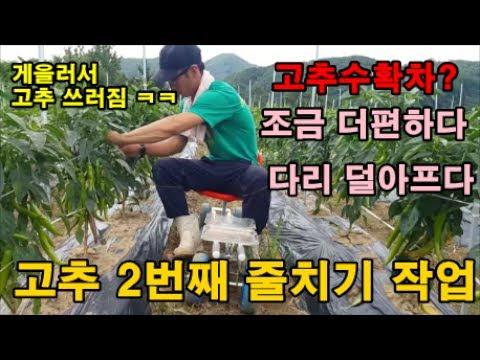 고추 재배 방법 2번째 줄치기 작업 고추수확�