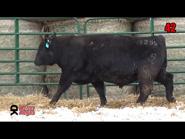 Kaiser Angus Ranch Lot 42
