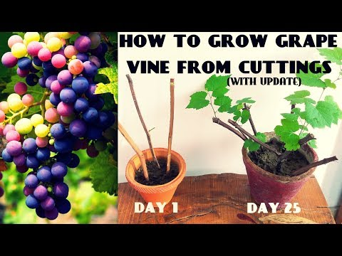 How To Grow Grape Vine From Cuttings At Home (FAST N EASY)