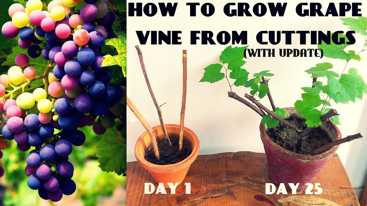 How To Grow Grape Vine From Cuttings At Home Fast N Easy Youtube