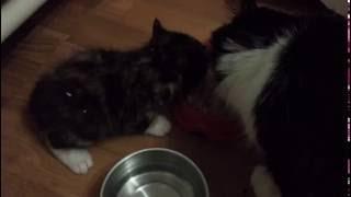 Приучаем котят к еде