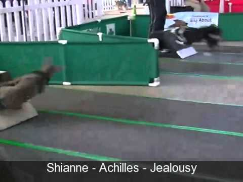 American Pit Bull Terriers in flyball