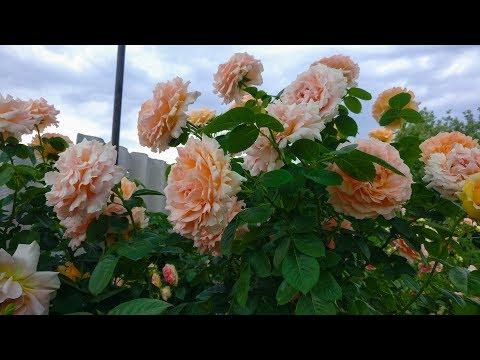 Плетистые розы. Что делать?