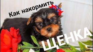 Чем кормить щенка / Как накормить щенка / Щенок йорка