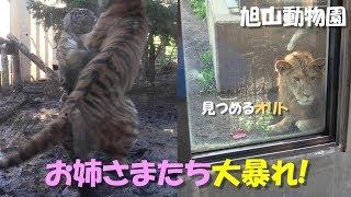 旭山動物園で展示訓練中のライオン「オリト」と、隣りの放飼場で大暴れ...