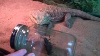 Big Lizard Eats Big Bug