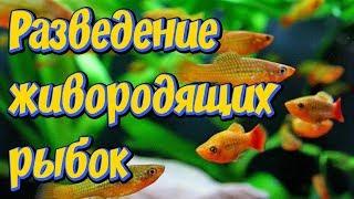 Разведение Живородящих рыбок  Гуппи, пецилии, меченосцы! РАЗВЕДЕНИЕ РЫБ В ДОМАШНИХ УСЛОВИЯХ
