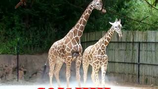 Rare video of  giraffe Mating and Breeding  | Giraffe Giving Birth