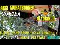 Murai Batu Borneo  Syakila  Ganas Sujud Sujud Muntah Isian Di Even Gantangan  Tenggarong Edannn  Mp3 - Mp4 Download
