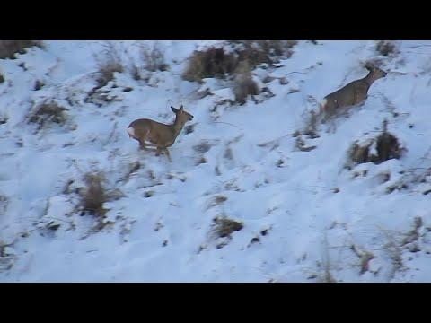 видео: Охота с подхода на сибирскую косулю