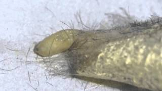 Parasitic Maggots Emerging from a Drinker Cocoon ヤドリバエ幼虫が寄主ヨシカレハ(蛾)の繭から脱出
