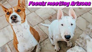 Feenix meeting Arizona. Basenji and Miniature Bull Terrier Puppy