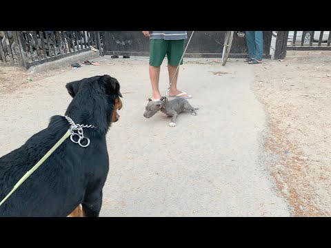 THOR Meet New Friend AMERICAN BULLY | Rottweiler and American bully playing| Dog evening walk