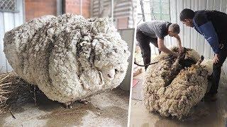 Uma Ovelha Desapareceu por 5 Anos. Essa Descoberta Causou Burburinho e Estabeleceu um Novo Recorde