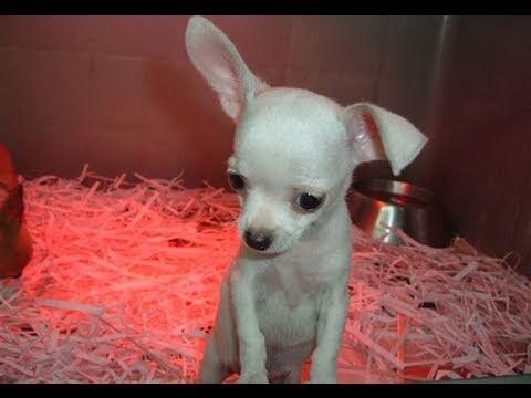 Chihuahua Cuccioli Adatti Ai Bambini