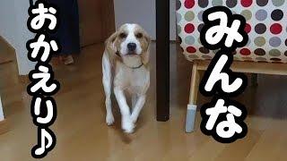 ビーグル #うぃるさん #Beagle お出かけして帰ってきたら うぃいさん...