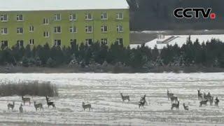 内蒙古:隆冬时节 23只狍子集体觅食 |《中国新闻》CCTV中文国际 - YouTube