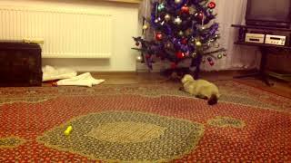 Kot próbuje gadać ludzkim  głosem