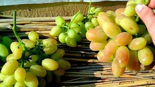 виноград Виктор - сигнальные грозди