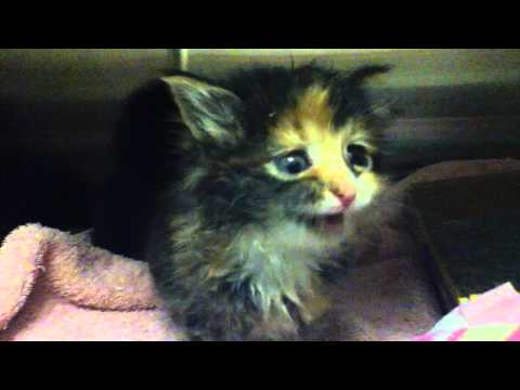 ADORABLE kitten meowing