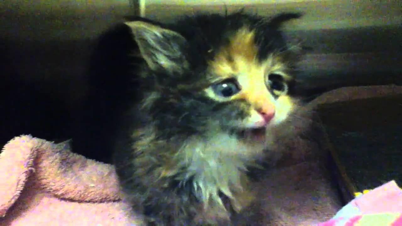 ADORABLE kitten meowing