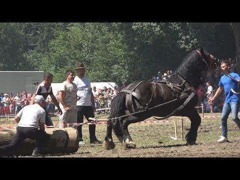 Armasarul Voicu I Rasnov, Brasov 2017 I locul 3