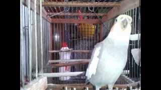 Говорящий попугай,talking parrot,说话的鹦鹉