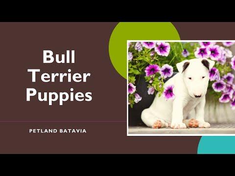 Bull Terrier Fun Facts